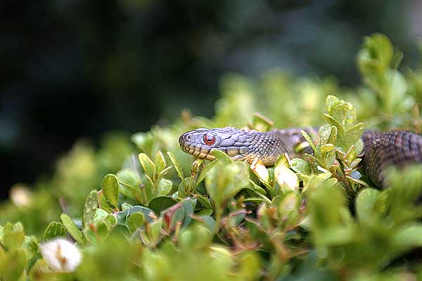Close up of a brown snake at f/2.8